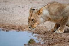 Lioness drinking Stock Image