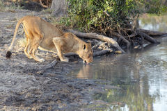 Lioness drinking Stock Photography