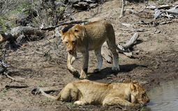 Lioness drinking while another is approaching. In the savanna - south africa Royalty Free Stock Photo