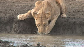 Lioness drinking stock video