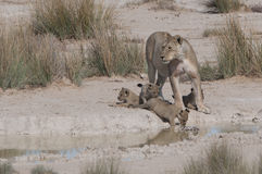 Lioness Drinking with Cubs Royalty Free Stock Photography