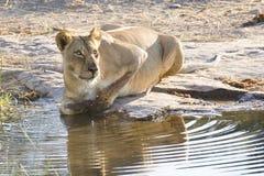 Lioness drinking (Panthera leo), Botswana. Lioness drinking water from a stream in Botswana Stock Photo