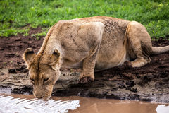 Lioness drinking Royalty Free Stock Images