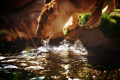 Lioness drinking water Royalty Free Stock Photography