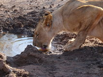 Lioness drinking water Stock Images