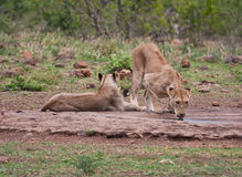 Lioness drinking water in nature Royalty Free Stock Photography