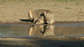 Lioness drinking water stock video footage