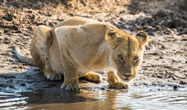 Lioness drinking water from puddles. Kenya. Tanzania. Maasai Mara. Serengeti. Stock Photography
