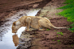 Lioness  drinking water at waterhole Royalty Free Stock Photography