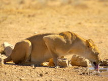 Southern african animals. Lioness drinking at waterhole at Kgalagadi Transfrontier Park Royalty Free Stock Photography
