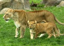 Lioness e Cub Fotografie Stock