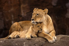 Lioness e Cub Fotografia Stock
