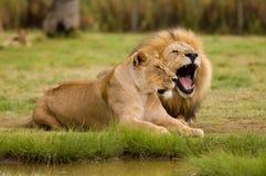 Lioness e leone Immagini Stock