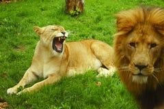 Lioness e leone arrabbiati Fotografia Stock