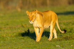 Lioness Early Morning Sunshine Royalty Free Stock Photos