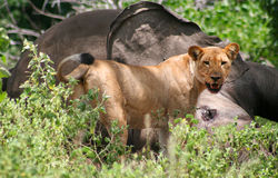 Lioness eating elephant Stock Image