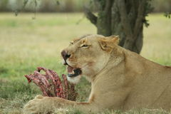 Lioness eating lunch Stock Photo