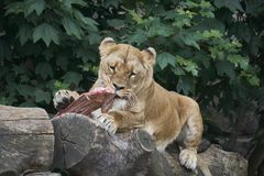Lioness eating raw cow meat by tearing off pieces with her teeth stock photos