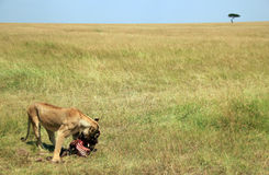 Lioness Eating a Wildebeest Royalty Free Stock Photography