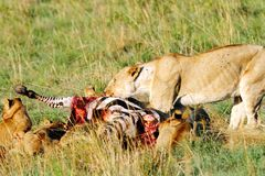 Lioness eating Zebra Royalty Free Stock Photography