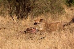 Lioness eating zebra. Lioness eating a zebra in the savannah Royalty Free Stock Image