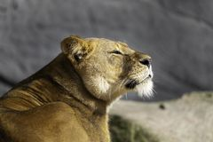 A lioness enjoying the sun in the zoo stock images