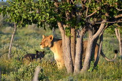 Lioness in Etosha nat.park Royalty Free Stock Image