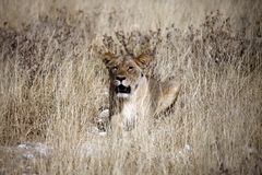 Lioness - Etosha National Park - Namibia Royalty Free Stock Image