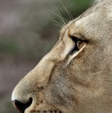 Lioness Eyes and Nose. Close up of a lioness face with large amber eyes Stock Photos