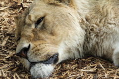 Lioness Face Close Up Royalty Free Stock Photos