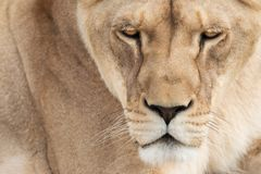 Lioness face. Detail portrait of a beautiful lioness face royalty free stock photo