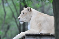 Lioness. Face of a lioness,in view of the eye Royalty Free Stock Image