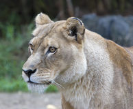 Lioness facing left. Head shot of a lioness, eyes are focused and intense as she spots prey in distance royalty free stock images