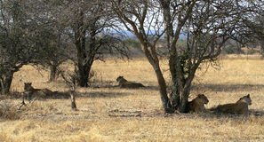 Lioness Family Relaxing. Four Lioness resting under the shade of trees royalty free stock photos