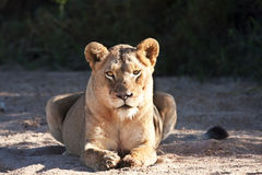 Lioness fat lying on sand Royalty Free Stock Photography