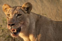 Lioness after feeding Stock Photos