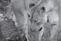 Lioness feeding on a buffalo carcass late in evening with flies Stock Photography