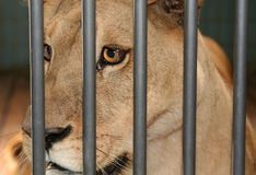 Lioness female cage Stock Images