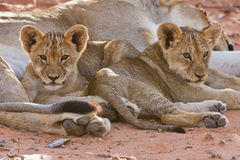 Lioness female with cubs Royalty Free Stock Photo