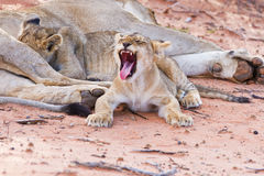 Lioness female with cubs Stock Image