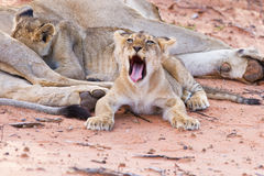 Lioness female with cubs Stock Photos