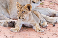 Lioness female with cubs Royalty Free Stock Images