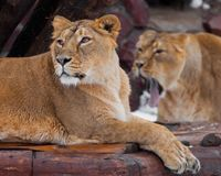 Lioness female lies turned away from her friend, and she roars in her ear, comic royalty free stock image