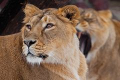 Lioness female lies turned away from her friend, and she roars in her ear, comic royalty free stock images