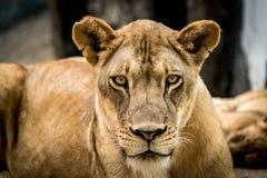 Free Lioness, Female Lion Stock Image - 82561451