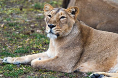 Lioness female lion Royalty Free Stock Image
