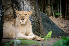 Lioness, Female lion Stock Image