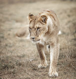 Lioness female ;Panthera leo. lioness in savanna Royalty Free Stock Photography