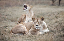 Lioness female & x28;Panthera leo& x29;. lioness in the savanna Royalty Free Stock Image