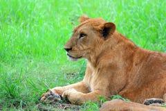 Lioness femminile Immagini Stock Libere da Diritti
